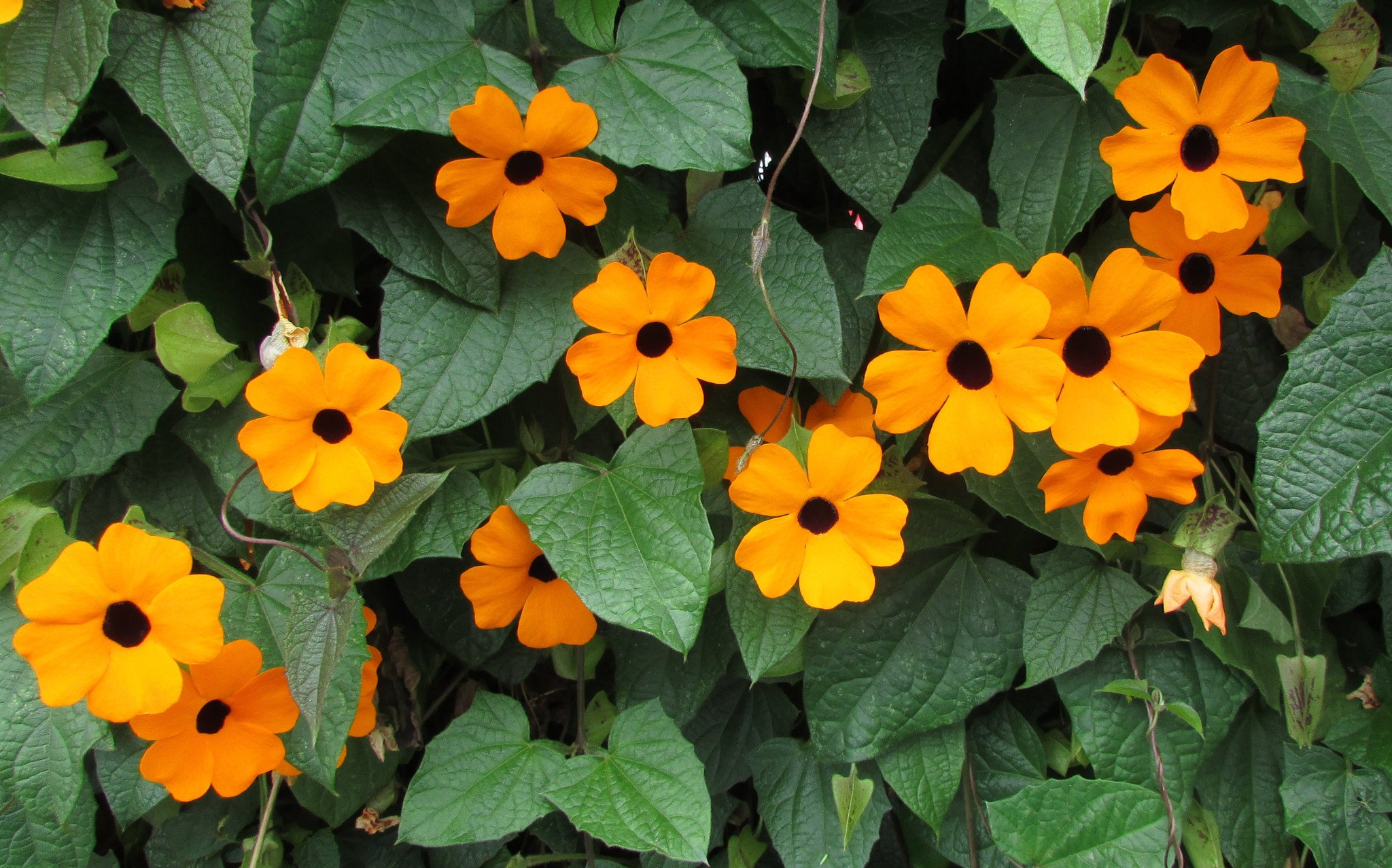 Ten flowers to bring pollinators and insects to your garden (black-eyed susan)