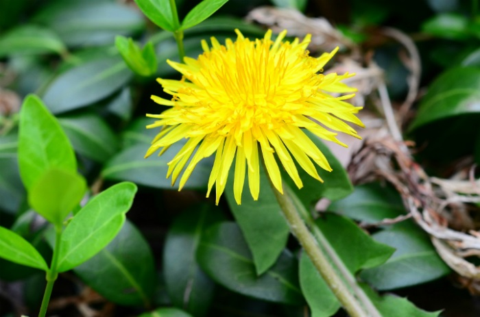 Ten flowers to bring pollinators and insects to your garden (dandelion)