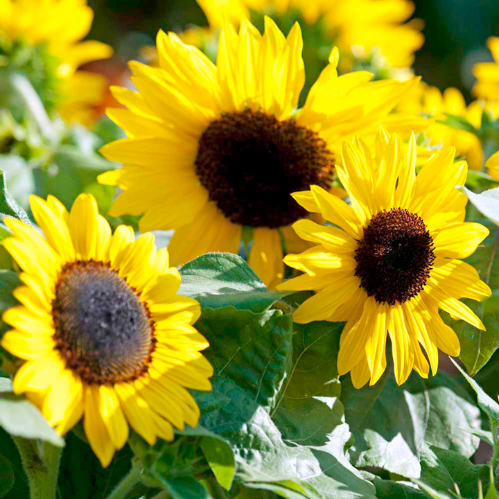 Ten flowers to bring pollinators and insects to your garden (sun flower)