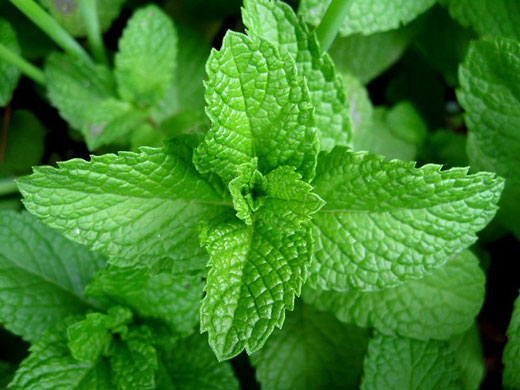Health Benefits of Catnip And Its Side Effects