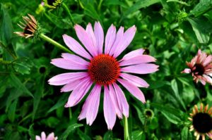 10 Reasons to grow Echinacea for every garden